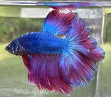 Young Betta Fish Blue-Lavender Halfmoon Breeding Pair
