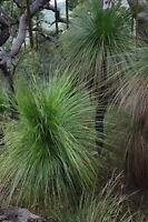 Eastern Coastal Grass Tree Seeds Australian Native Plant Drought Tolerant