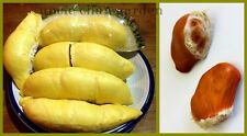 UNCLE CHAN GARDEN 2 SEED Durian Durio zibethinus KING OF FRUIT FRESH VIABLE NOW