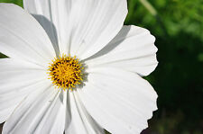 cosmos, White Psycho, annual flower, 75 seeds! GroCo