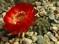lobivia haematantha 10 seeds rare samen korn echinopsis