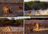 Etosha Wildlife Park NAMIBIA Südwestafrika Tierpark Tiere Animals Lion Löwe