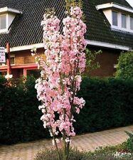 Japanese Amanogawa Pink Flowering Cherry 4-5ft, 3L Pot, Upright Prunus Serrulata