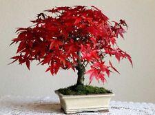 Semi Acero palmato - Acer palmatum - japanese maple, bonsai, giardino
