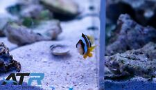 Clarkii Clownfish Pair, Small, Yellow&Black, Community, Starter Fish, Atr