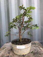 Jaboticaba Pre-Bonsai Tree by The Bonsai Supply