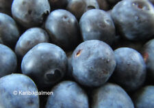 3er - Paket  Blaubeere - Heidelbeere - winterharte Pflanze 20-40cm - Vaccinium