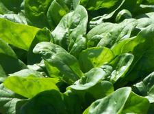 Épinards-Medania graines-légumes jardin familial Graines