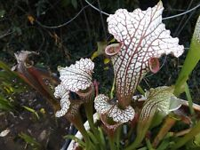 Sarracenia carnivorous plant Blood in the Snow