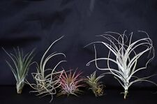 Air Plant - Tillandsia 5 Set Holiday Decor Gift Easy to Care 5 x different Plant