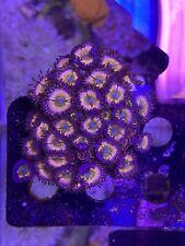 CB Rainbow Infusions Palythoa~ WYSIWYG Live Coral mini colony 10+ polyps zoa ~