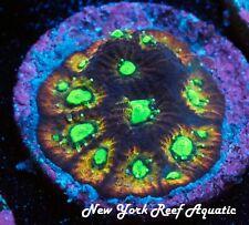 New York Reef Aquatic - 0611 C2 Intergalactic Favia Wysiwyg Live Coral