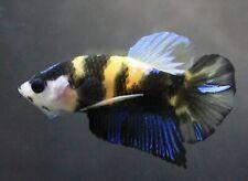 Thai Betta Live Fight Fish Wild Aqua Yellow Pet Home Office Garden Plakat Decor