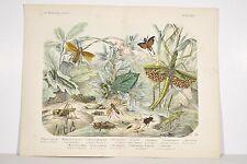 Gravure XIX° Insectes et Plantes, Phasme/Criquet/Sauterelle/Mante religieuse