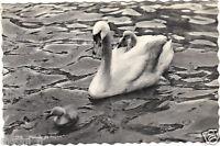 Animales - TARJETA POSTAL- - Familia cisnes