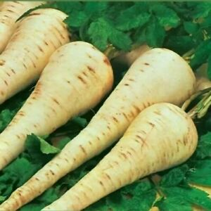 Gladiator Parsnip Seeds (Approx 500 seeds)