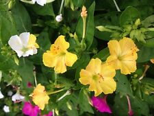 4 O'clocks-Heirloom-Perennial-Solid Yellow Colored Blooms-15 Seeds-2017