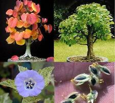 Duftpflanzen-Sortiment / Lebkuchenbaum Schokoladenblume Lampionblume ... / Samen