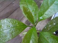 Loose weight! 2 Avocado tree plants, medicinal herbal tea, organic, gift idea