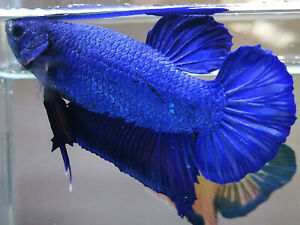 (100%GIANTBLOODLINE) PREMIUM LIVE BETTA l Giant Metallic Blue Plakat 6.5cm!