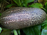 Very RARE Sikkim Cucumber, Himalayan Mountains Cucumber, Khirai -  5 Seeds