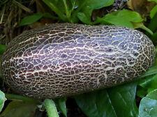 Very RARE Sikkim Cucumber, Himalayan Mountains Cucumber, Khirai -  10 Seeds