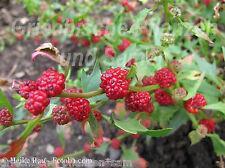 Erdbeerspinat * 20 Samen * Erdbeeren leckere Früchte gesundes Gemüse Erdbeere