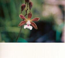 "Encyclia pyriformis Bloom size 4"" wood slat basket Large Imported Cuban Species"