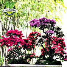 100 Seeds Bonsai Mountain Azalea - Rhododendron Simsii Satsuki Mix Color Flower