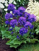 Campanula Belle Blue Seed Good Border Rock Garden and Purple-Blue Cut Flower