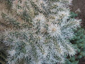 CYLINDROPUNTIA TUNICATA   A Very Spiny Cactus