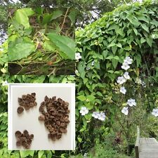 Thunbergia laurifolia 20 seeds Blue Trumphet Vine for planting best from Thai