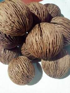 Dried Pong Pong(Sea mango) Oval Seed Home Décor 2 Pcs FREE STANDARD SHIPPING