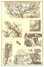 CATERPILLARS. Pine-tree moth cocoon Ichneumon-fly larva syrphus- willow-  1907