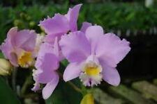 """BIN) Pot Montana Spirit 'Big Sky' Cattleya Orchid Plant 2 1/2"""" Pot"""