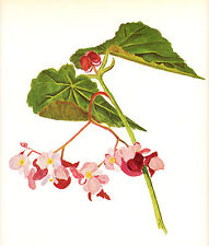 """CLARENCE E HALL 1966 Book Print """"BEGONIA"""" Vintage Tropical Flower Oil Painting"""