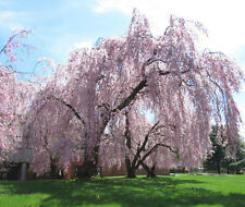 Pink Fountain weeping cherry blossom tree!beautiful garden tree! even BONSAI!