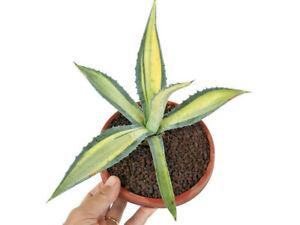 Agave americana MEDIOPICTA VARIEGATED GIALLA 16cm (unusual variegation)  K8K