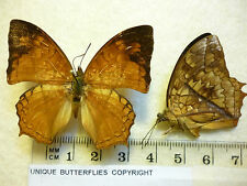 Real Butterfly/Moth dried insect specimens.Charaxes pleione