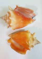 Lot of 2 Atlantic Ocean Sea Shells Yellow Medium 2.75 in long @1