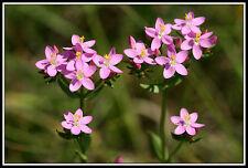 Environ 2000+! graines Centaurium erythraea-mille gülden herbe seeds semillas