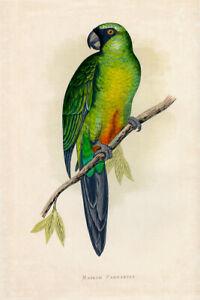 WT Greene Parrots in Captivity Masked Parrakeet Wildlife Print