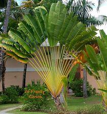 Ravenala madagascariensis @ Baum der Reisenden @ Banane @ Kübelpflanze @ 5 Samen
