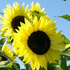 Lemon Queen Sunflower 15 Seeds Many beautiful flowers on each plant! Comb.S/H