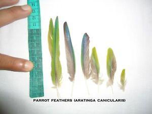 200 Mexican Parrot FEATHERS (Aratinga canicularis) [MIXED]