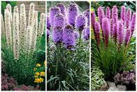 50 Liatris Spicata Flower Seeds Mixed Blazing Star gayfeather Plant Home Bonsai