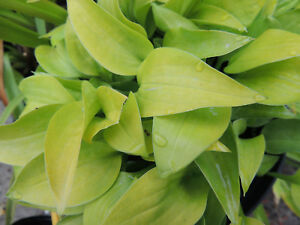 HOSTA ALBOPICTA AUREA - Well established plant grown in 11cm. pot.