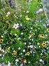 Blühende*Blumen*Bienenwiese WILDBLUMEN bunte Mischung 1 Portion mind. 500 Samen