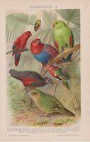 1890 PARROTS LORI EDEL KAKAPO BIRDS Antique Chromolithograph Print Mutzel
