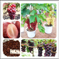 Grape Bonsai 50 Pcs Seeds Organic Fruit Nutrient Rich Vine Plants Tree Garden N